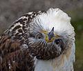 Ferruginous Hawk 1 (4450551145).jpg