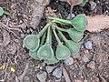 Ficus auriculata 110.jpg