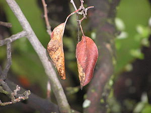 Wilting - Wilted fig leaves on a branch