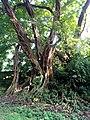 Fig tree, Limbe.jpg