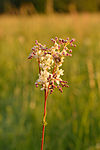 Filipendula vulgaris - angerpist.jpg