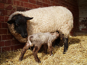 Domestic sheep reproduction - A cross-bred ewe suckles her lamb, which was the first of the 2008 spring lambing at a farm in Coventry, England