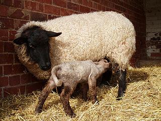 Domestic sheep reproduction Reproduction of sheep