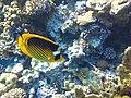 Fish, Egypt, Sharm-el-Sheikh - panoramio.jpg