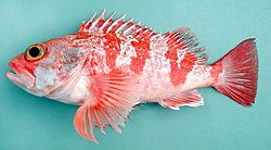 Fish4271 - Flickr - NOAA Photo Library.jpg