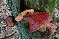 Fistulina hepatica (GB= Beefsteak polypore fungus or Ox Tongue, D= Leberreischling, or Ochsenzunge, F= Langue de bœuf, NL= Biefstukzwam), pinkish spores and causes brown rot, at NP Hoge Veluwe - panoramio.jpg