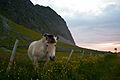 Fjord horse.jpg