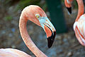 Flamingo head and neck (7762268808).jpg