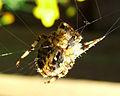 Flickr - Michael Gwyther-Jones - Garden Spider.jpg