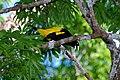 Flickr - ggallice - Yellow-rumped cacique.jpg