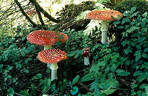 Fleegenswaamp (Amanita muscaria)