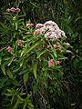 Flor de Kuelap06.jpg