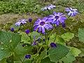Floral Cineraria,jpg.jpg