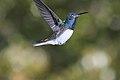 Florisuga mellivora (flight).jpg