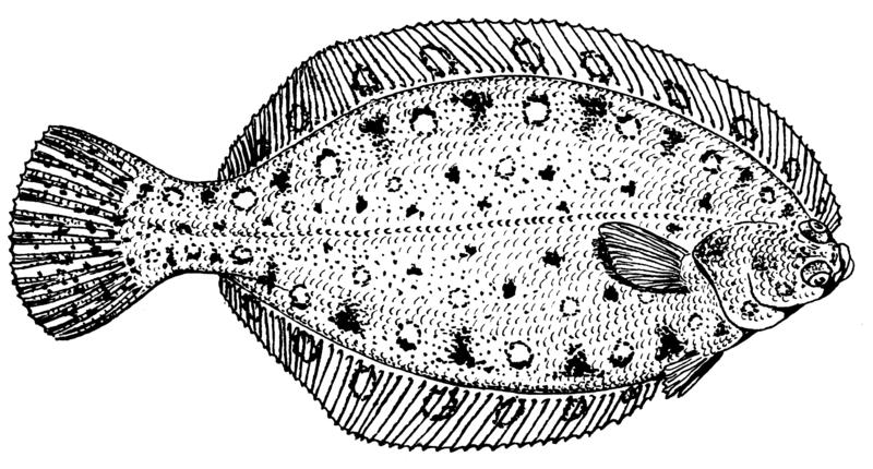 File:Flounder (PSF).png