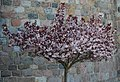 Flourishing tree - panoramio.jpg