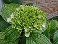 Flowers Nepal 9997.JPG