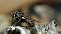 Fly (Diptera) - Guelph, Ontario 02.jpg