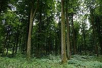 Forêt d'Eawy hêtres01.JPG