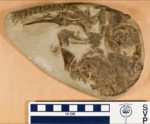Fossil specimen of Rhineastes.png