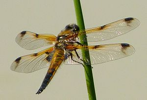 Mendip Hills - Four-spotted chaser