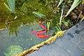 Frai de poissons rouges 3.jpg