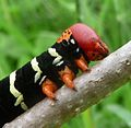 Frangipani Hawkmoth Caterpillar. Pseudosphinx tetrio - Flickr - gailhampshire (2).jpg