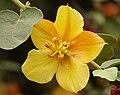 Fremontodendron Ken Taylor.jpg