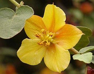 Fremontodendron mexicanum - Hybrid Fremontodendron 'Ken Taylor' (F.mexicanum × F. californicum).