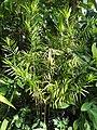 Freycinetia cumingiana - Denver Botanic Gardens - DSC00952.JPG