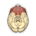 Frontal lobe - inferior view.png