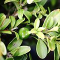 Fruit on Buxus microphylla, top view.JPG