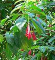 Fuchsia boliviana 2.jpg