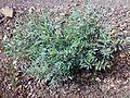 Fujeirah north 1501200713094 Tephrosia apollinea.jpg