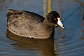 Fulica americana -Cloisters Park pond, Morro Bay, California, USA -swimming-8.jpg