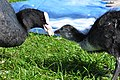Fulica atra - Katzensee Strandbad 2011-05-29 17-14-56.JPG