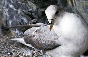 Fulmarine petrel - Northern fulmar