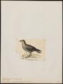 Fulmarus macropterus - 1820-1860 - Print - Iconographia Zoologica - Special Collections University of Amsterdam - UBA01 IZ17900116.tif