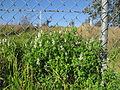Fumaria capreolata plant3 (14605300043).jpg