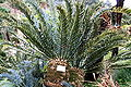 Funchal, Monte - Encephalartos horridus (Brotpalmfarn) IMG 1934.JPG