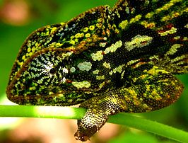 Furcifer lateralis.JPG