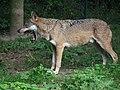 Gähnender Wolf Tiergarten Worms 2011.JPG