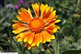 Gaillardia aristata Oranges and Lemons 2zz.jpg