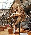 Galeries d'Anatomie comparée et de Paléontologie (20154492828).jpg