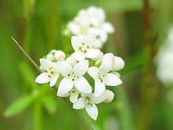Galium palustre detail.jpeg