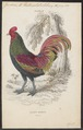 Gallus aeneus - 1833-1866 - Print - Iconographia Zoologica - Special Collections University of Amsterdam - UBA01 IZ17000003.tif