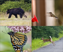 Four image composite of a black bear walking on grass, a hummingbird hovering in front of a red plastic flower, a butterfly hanging upside down from pink flowers, and a deer with white spots and tail leaping from a road to grass.