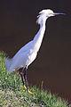 Garça branca pequena egretta thula.jpg