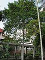 Garcinia mangostana (Mangosteen) tree in RDA, Bogra 02.jpg