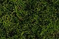 Garden Shrub Leaves Close-up PLT-LV-2.jpg